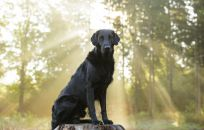 Flatcoated Retriever Ddanmark